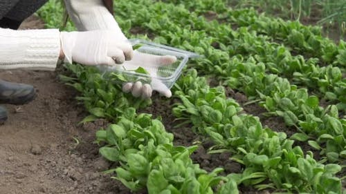Picking Organic Spinach In A Home Garden
