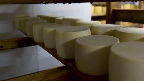 Räder des jungen Käses reifen in Regalen in einem Käsereikeller
