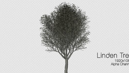 Thumbnail for Linden Tree