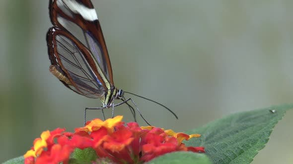 Thumbnail for Satyr Adult Lone Eating Feeding Glasswing Clearwing in Costa Rica