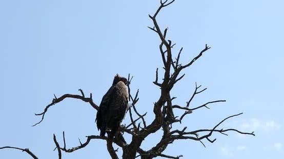 Thumbnail for Majestic martial eagle Namibia Africa safari wildlife