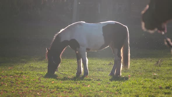 Thumbnail for Stallion Eats Grass on a Green Meadow . Slow Motion