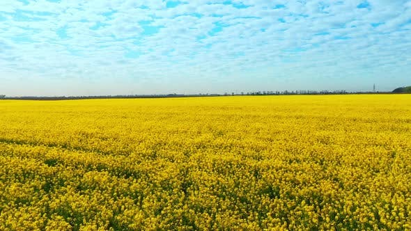 Aerial Drone Footage of Field of Yellow Rape Against the Blue Sky