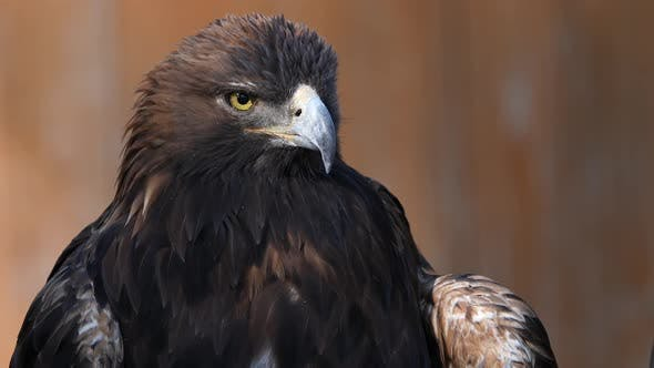 Thumbnail for Golden Eagle perched and looking around