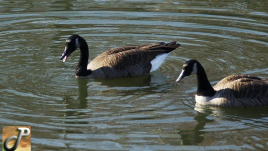 Thumbnail for Geese In The Lake Eating