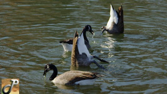 A Group of Geese Eating in a Lake