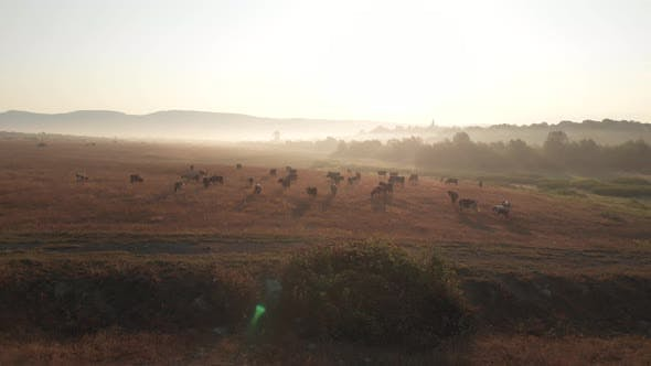 Agriculture Landscape of Countryside Field with Grazing Cows