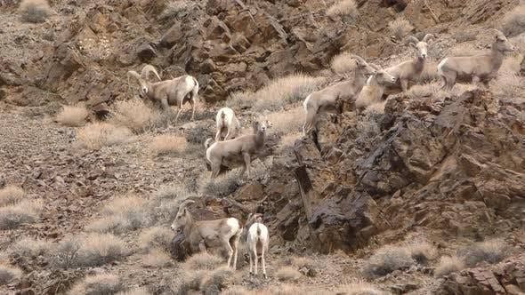 Desert Bighorn Sheep Ram Ewe Male Female Adult Immature Herd Band Standing Looking Around