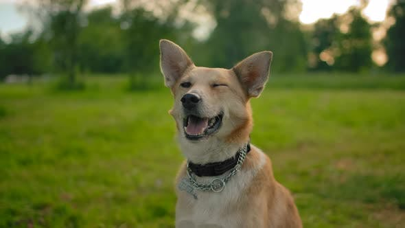 Portrait of a Red Mongrel Smiling Quiet Dog in the Park.