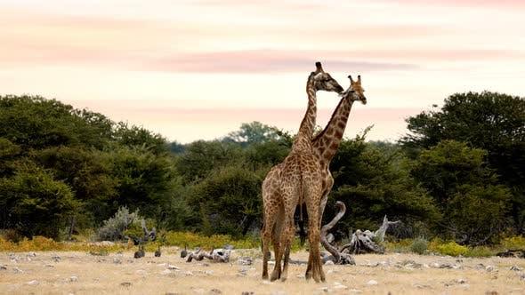 Two cute Giraffes in love in Etosha, Namibia safari wildlife Africa