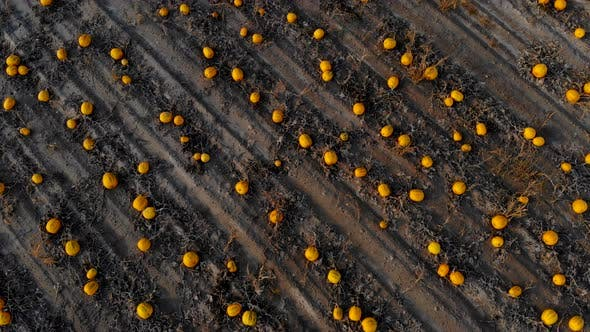 Thumbnail for Flying Over Ripened Pumpkin Field, Aerial Shot