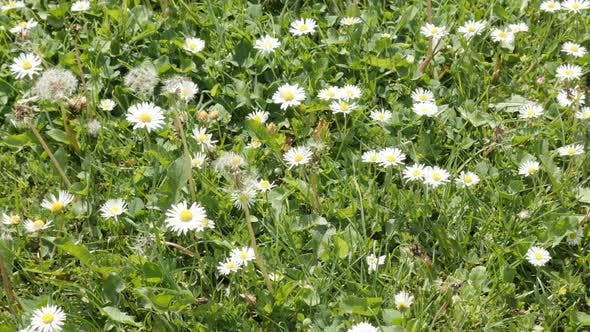 Thumbnail for Lot of Asteraceae family common daisies in the grass spring background slow tilt 4K 2160p 30fps Ultr