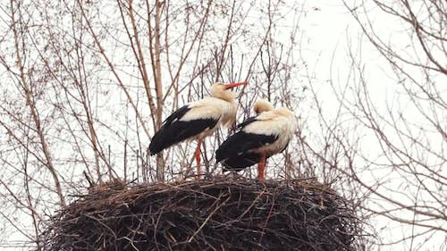 Adult European White Storks  Ciconia Ciconia  Sitting In Nest In Spring Day