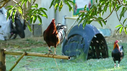 Rooster at A Cock Fighting Farm with A Goat Passing by
