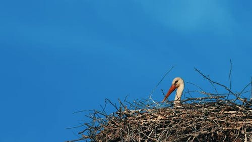 Adult European White Stork  Ciconia Ciconia  Sitting In Nest In Sunny Spring Day
