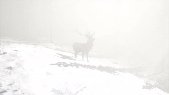 Proud Noble Deer Male in Winter Snow Forest