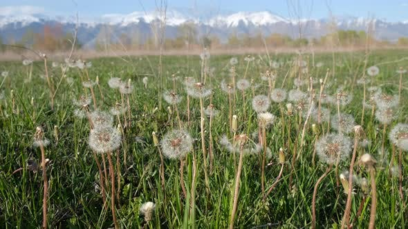 Thumbnail for Dandelions at the Meadow