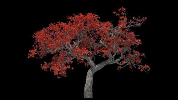 Autumn Maple Tree Loop