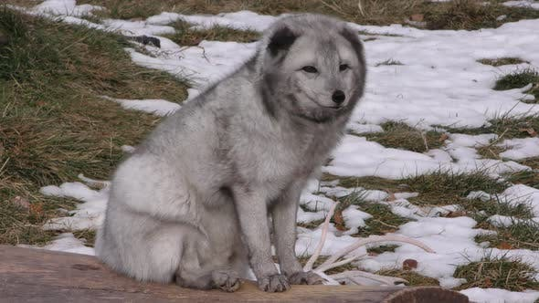 Thumbnail for Arctic Fox Adult Alone Resting in Winter Snow Gray