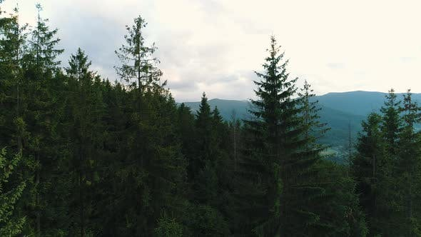 Thumbnail for Coniferous Forest in the Carpathians