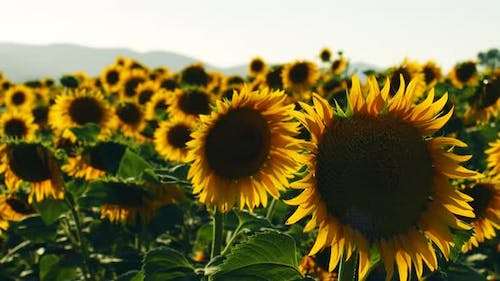 Sunflowers In Green Nature 13