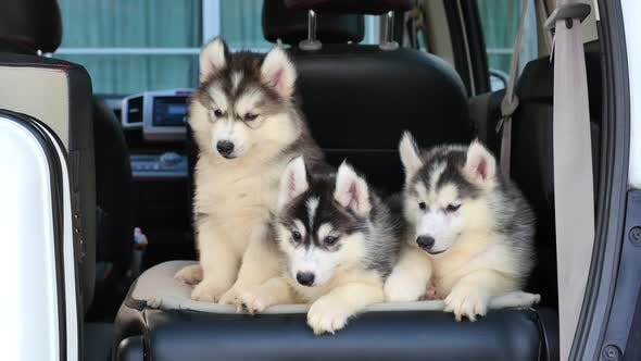 Siberian Husky Puppies Sitting In The Car