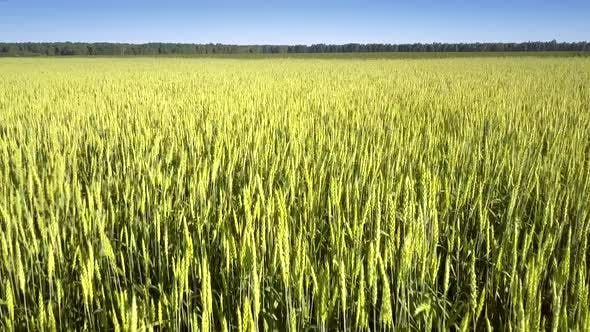 Thumbnail for Golden Commercial Wheat Grows on Boundless Yellow Field