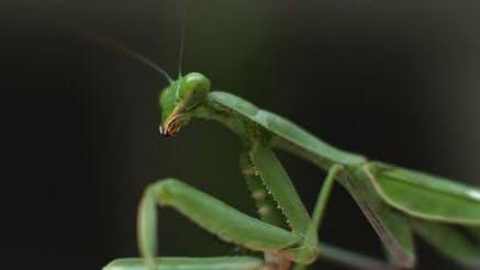 Macro shot of the praying mantis moving its head on a green bokeh background