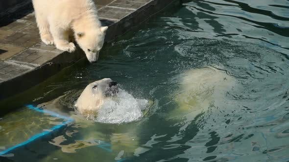Thumbnail for Polar Bear with Cubs Playing in Water