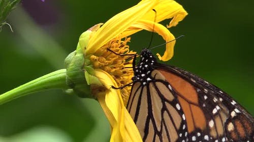 Costa Rican Monarch Butterfly Eating Nectaring Non-migratory Yellow Flower