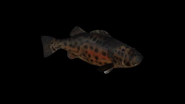 Thumbnail for Giant Sea Bass Front View