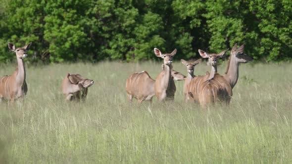 Herd of female greater kudus