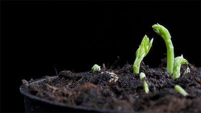 Pea Seeds Germination 1