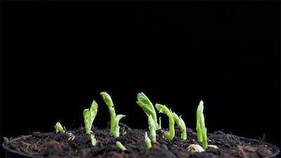Pea Seeds Germination 3