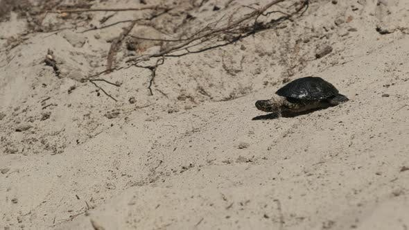 Thumbnail for River Turtle Crawling on Sand To Water Near Riverbank. Slow Motion