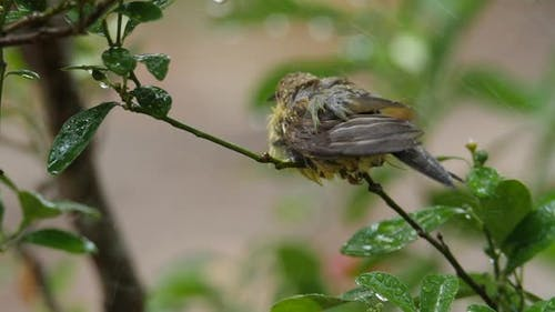 Baby birds are playing in the rain. The plumage feather is wet soaked with water droplets.