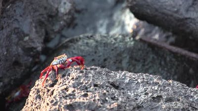 Red Rock Crabs at the rocks