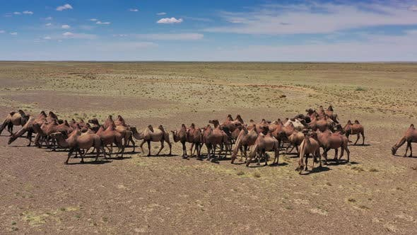 Thumbnail for Aerial View of Bactrian Camels Group in Mongolia