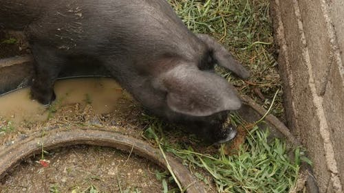 Livestock black  domestic  pigs 4K 2160p 30fps UltraHD footage - Farming animals in unhygienic condi