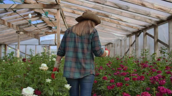 Thumbnail for Back View Young Woman Farmer Walks in a Flower Greenhouse and Examines the Grown Roses, Flower