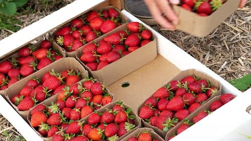 Farmer Is Puts Bast Baskets with Strawberry in the Box