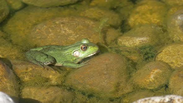 Thumbnail for Close up view of a frog in water