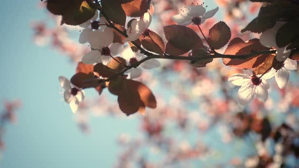 Thumbnail for Pink Blooming Cherry Tree 3