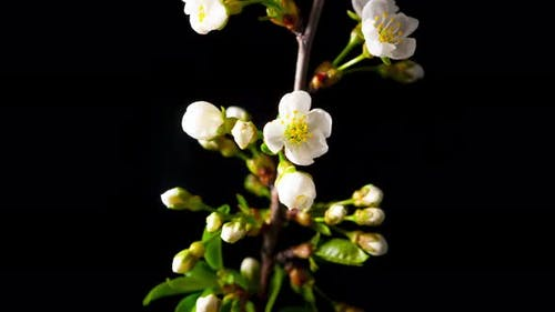 White flowers of a cherry blossom on a cherry tree close up.