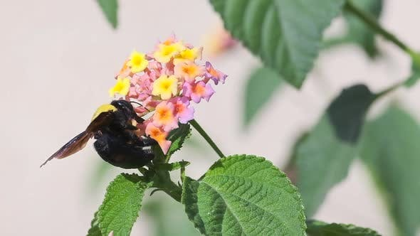 Thumbnail for A Bumblebee collects Nectar from a Flower, slow-motion footage