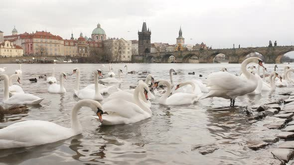Thumbnail for Charles bridge and Vltava river banks in capital of Czechia     with bevy of white swans 3840X2160 U