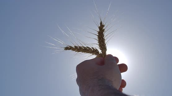 Wheat And Sunshine