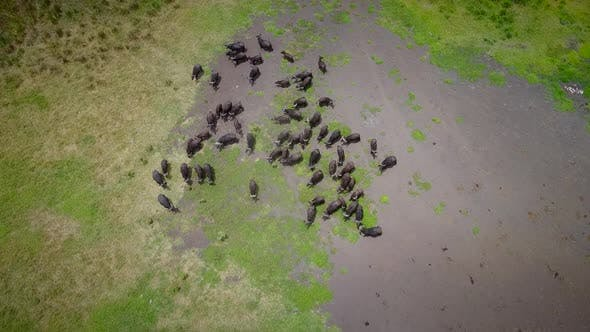 Aerial view of a buffalo herd in Tanzania.