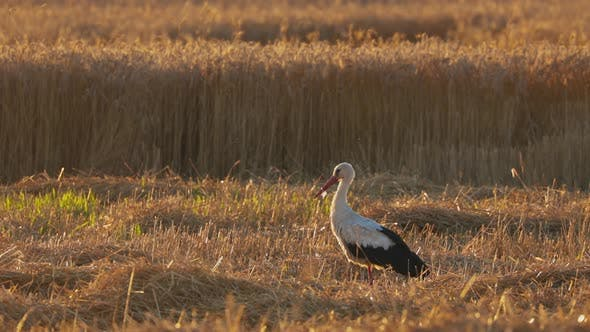 Adult European White Stork  Ciconia Ciconia  Walking In Summer Field