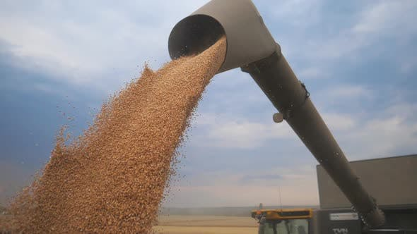 Thumbnail for Combine Loading Wheat Grain in Truck at Evening. Yellow Dry Kernels Falling From Harvester Auger